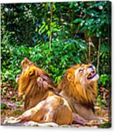 Roaring Lions Acrylic Print