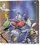 Robin And Berries Acrylic Print