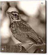 Robin Bird Black And White Acrylic Print