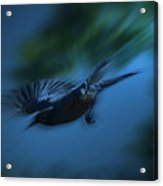 Robin Gliding In For A Landing Acrylic Print