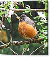 Robin In Apple Tree Acrylic Print