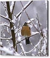 Robin In Snow Acrylic Print