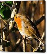 Robin In The Hedgerow Acrylic Print