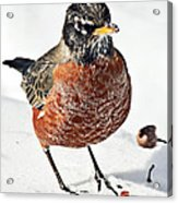 Robin In The Snow Acrylic Print
