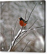Robin In Winter Acrylic Print
