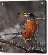 Robin Pictures 100 Acrylic Print