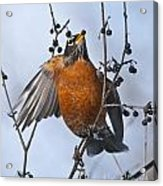Robin Pictures 84 Acrylic Print