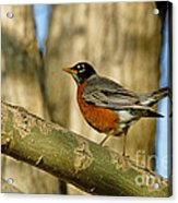 Robin Red-breast  Acrylic Print