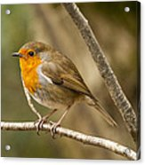 Robin Red Breast Acrylic Print