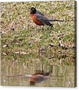 Robin Reflection Acrylic Print