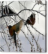 Robins Cold Breakfast Acrylic Print by Rebecca Adams