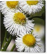Robin's Plantain Wildflowers - Erigeron Pulchellus Acrylic Print