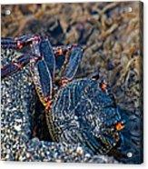 Rock Crab At He'eia Kea Pier Acrylic Print