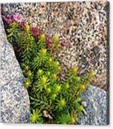 Rock Flower Acrylic Print