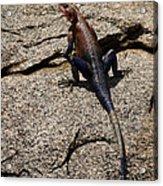 Rock Island Lizard   #8103 Acrylic Print