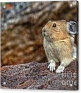Rock Rabbit Acrylic Print