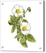 Rockrose (cistus Salvifolius), Artwork Acrylic Print