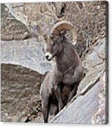 Rocky Mountain Big Horn Sheep Ram Acrylic Print