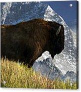 Rocky Mountain Buffalo Acrylic Print