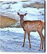 Rocky Mountain Elk Calf Acrylic Print