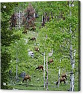 Rocky Mountain Elk Herd Acrylic Print