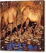 Rocky Mountain Elk Acrylic Print