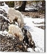 Rocky Mountain Goats - Mother And Baby Acrylic Print