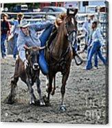 Rodeo Bulldog Acrylic Print