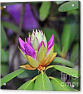 Rododendro Acrylic Print
