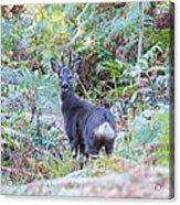 Roe Buck In Woodland Acrylic Print