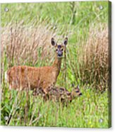 Roe Deer Capreolus Capreolus With Two Fawns Acrylic Print