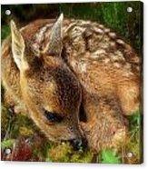 Roe Deer Fawn Acrylic Print