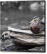 Rogue River Duck Acrylic Print
