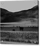 Rolling Hills And Cattle In Black And White Acrylic Print