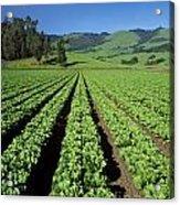 Romaine Lettuce Field Acrylic Print