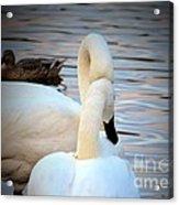 Romance Of The White Swans Acrylic Print