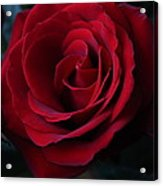 Romancing The Rose  Acrylic Print
