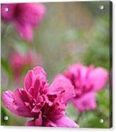 Romantically Pink Acrylic Print