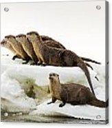 Romp Of Otters Acrylic Print