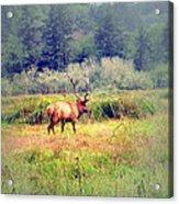 Roosevelt Bull Elk Acrylic Print
