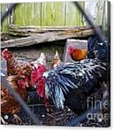 Rooster And Chickens Acrylic Print