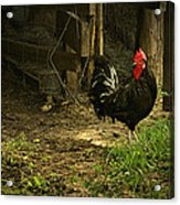 Rooster In The Hen House Acrylic Print