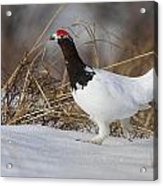 Rooster On The Prowl Acrylic Print