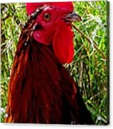 Rooster The Male Chicken Acrylic Print