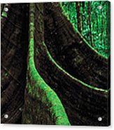 Roots Of A Giant Tree, Daintree Acrylic Print