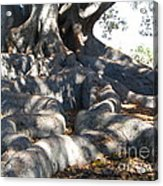 Roots Of Large Fig Tree Acrylic Print