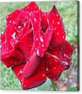Rosa Rossa Acrylic Print by Michel Croteau