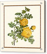 Rosa Sulfurea -yellow Rose  Square Acrylic Print
