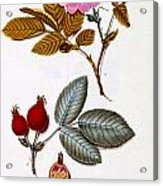 Rosa Villosa Acrylic Print by German School
