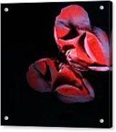 Rose 009 Acrylic Print